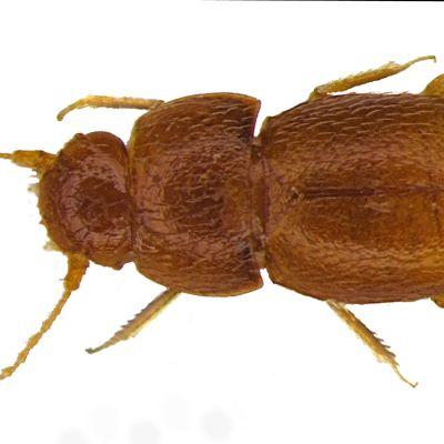 Honungsfärgad skalbagge med sex ben och två långa spröten.