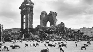 Dresden 13.9.1957. Får betar vid ruinerna av Frauenkirche