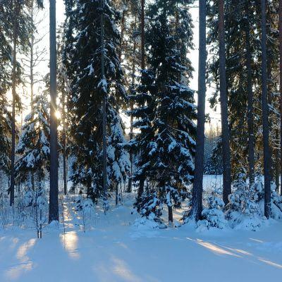 Aurinko paistaa lumisen metsän läpi.