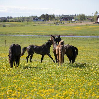 Ypäjän hevoset pääsivät laitumelle
