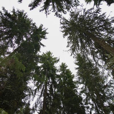 Riihikosken metsää