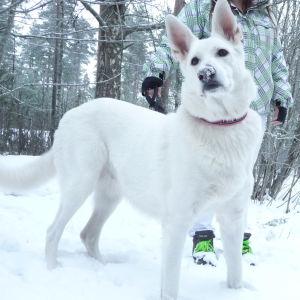 OBS! Oklart om det är en varghund eller en vit herdehund!