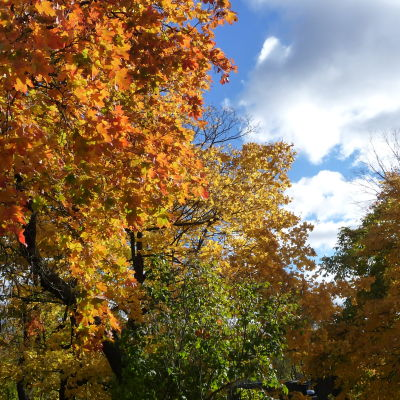 Trädkronor i höstfärger mot blå himmel.