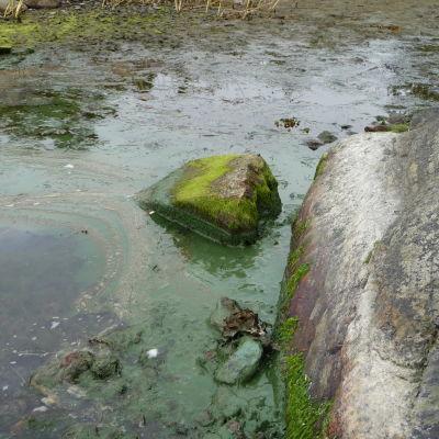 Blågröna alger på Kalvskär 2015