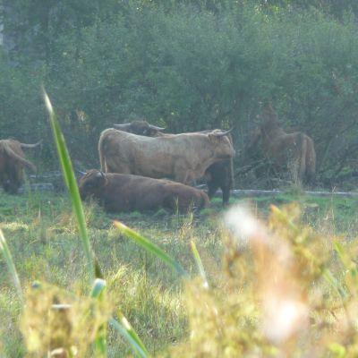 Highlander tjurarna i Ruskis i Borgå sköter om att strandängen bibehålls