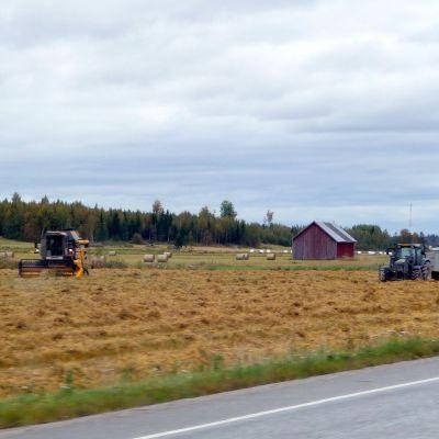 Skördearbete på österbottniskt spannmålsfält