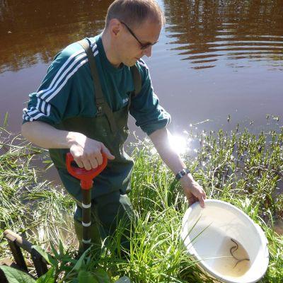 Kari Saari har grävt fram nejonögslarver i Tjöck å.