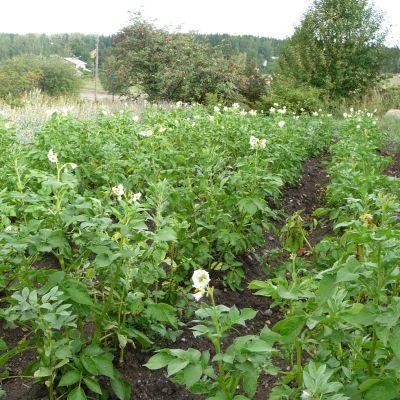 Biodynamisk odling på Kurala bybacke i Åbo