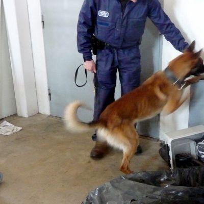 Hund tränas i att leta fram förbjudna ämnen.