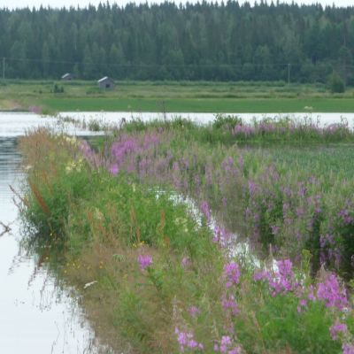 Översvämmad odling i Korsbäck.