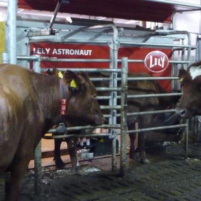 Lehmät jonottavat lypsyrobottiin.