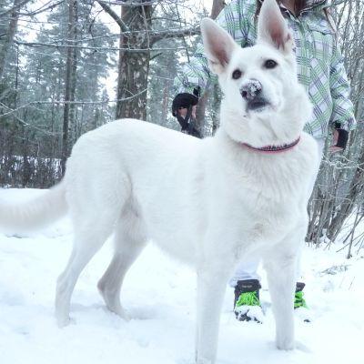 Koirasusi Nala seisoo ulkona lumihangessa.