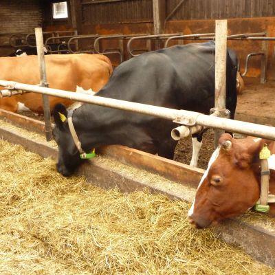 Kor äter hö i ladugård.