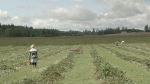 Melanie plockar jordgubbar i Mörskom.