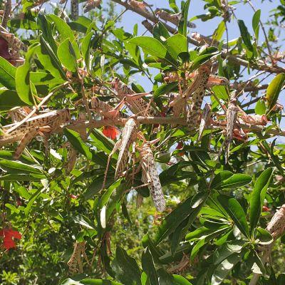 Heinäsirkkoja puun oksilla.