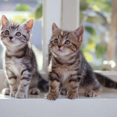 Två kattungar på ett fönsterbräde.
