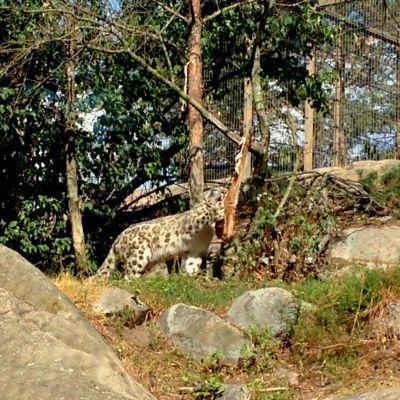 Snöleoparden på Högholmen får mat.