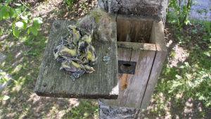 Kesän 2014 monen linnun pesintä epäonnistui kolean alkukesän vuoksi. Kuolleita talitiaisen poikasia pöntön nostettuna pöntön katolle.