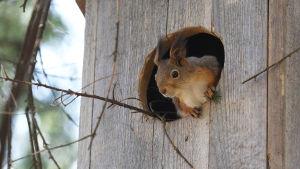 Orava kurkistaa pöllönpöntöstä, johon se on tehnyt talvipesänsä. Risuja näkyy lentoaukosta.