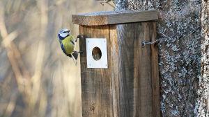 sinitiainen tarkastelee linnunpönttöä aukon sivulla