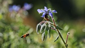 Mehiläisiä sinisen rohtopurasruohon eli kurkkuyrtin kukassa elokuussa Hatanpään arboretumissa Tampereella