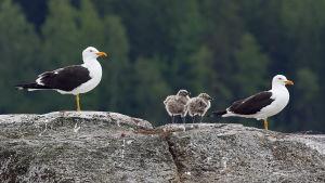 selkälokkipari ja kaksi poikasta kalliolla