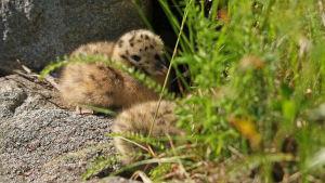 pienet kalalokin poikaset piilossa