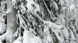 Sinitiainen lumipeitteisessä kuusessa.