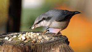 Pähkinänakkeli pähkinä nokassa