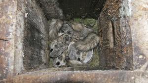 Liito-oravapoikue varpuspöllön pöntössä.
