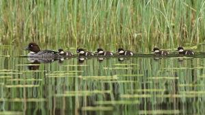 En knipa och ungar simmar.