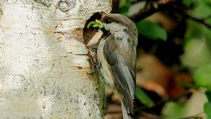 Lapintiainen kololla hyönteisiä suussaan.