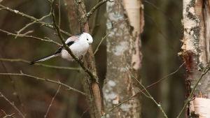 En stjärtmes på en gren.
