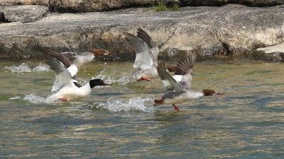 Kolme isokoskeloa lähtee vedestä lentoon