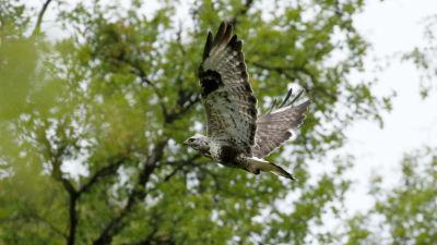 Piekana lentää