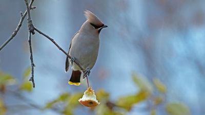Tilhi lehdettömällä omenapuun oksalla.