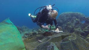 En dyrkare i Australien sprutar in vinäger i en korallätande sjöstjärna, tornekrona, för att ta kål på den