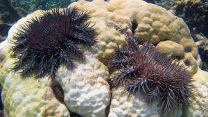 Inte så fridfulla. Sjöstjärnor av arten törnekrona förtär koraller i Stora barriärrevet.