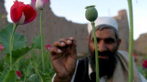 En afghanistansk jordbrukare inspekterar sina vallmoplantor