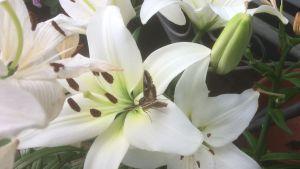 Perhonen liljassa.