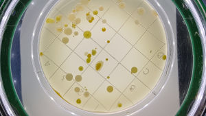 bakterieodling