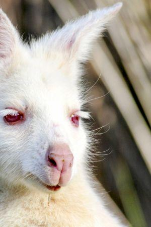 Tasmania on saari, joka pursuaa mitä oudoimpia ja ihmeellisimpiä villieläimiä.