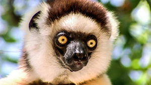 Madagaskarin eristäytynyt luonto sisältää monia ominatakeisia ja ainutlaatuisia eläin- sekä kasvilajeja.