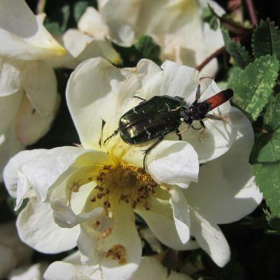 En guldbagge i blomma. Två insekter på varandra.