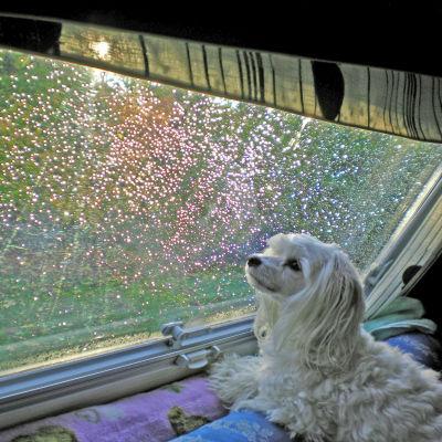 En hund tittar ut genom ett regnigt fönster i en husvagn