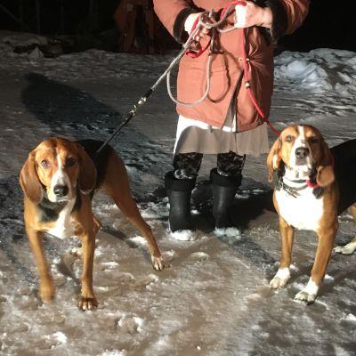 Suomenajokoirat Ani ja Rita eivät ole päässeet metsään kotimaisemissaan Rantasalmella jäisen hangen takia.