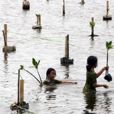 Indonesialaiset opiskelijat istuttivat mangroven taimia Kapukin suojelualueella Jakartassa 2009.