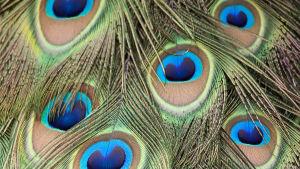 Närbild på påfågels stjärtfjäder.
