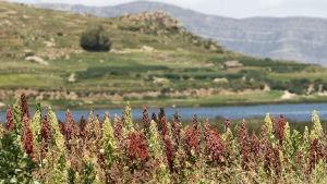 Odling av quinoa i Anderna