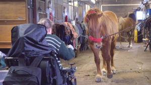 Pyörätuolissa oleva nainen hevostallilla edessään riimuihin sidottu suomenhevonen